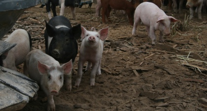 Cute Polyface pigs